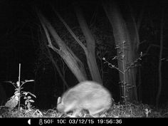 12/03/2015: i have no idea what this is.  Is it a racoon? Opossum? fox?  #wildlifecam