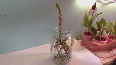 Как выходить Ванду без листьев и как она дала детку (размножение) Orchid...