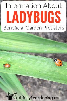 Is your garden regularly overrun with detrimental bugs like aphids and mealybugs? Ladybugs may be the natural pest solution you need. Help your organic garden flourish by learning how to attract and keep ladybugs in your yard to clean up all those pests for you. Find out all about their lifecycle, diet, and what makes them happy in a garden. Learn to distinguish between the beneficial native species and the invasive varieties to improve the habitat without resorting to chemical pesticides. Ladybugs For Sale, Plant Pests, Garden Pests, Plants, Organic Gardening, Gardening Tips, Scale Insects
