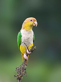 El caique de vientre blanco o caique de cabeza amarilla (Pionites leucogaster)…