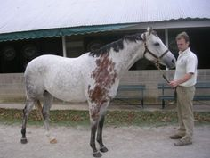 Bloody Shoulder Marking  Only on grey horses, common in girth or saddle area, permanently restricted pigmentation