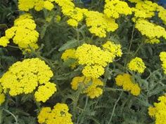 Moonshine yarrow ~ carefree and generous bloomers with tight clusters of deep yellow flowers on 2-foot tall plants.