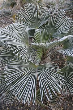 Trachycarpus wagnerianus - Rare and very special hardy palm Unusual Plants, Rare Plants, Exotic Plants, Cool Plants, Tropical Landscaping, Landscaping Plants, Tropical Garden, Tropical Plants, Palm Tree Plant