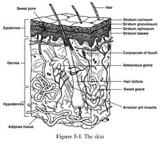 the integumentary system chapter 7 review sheet basic structure of the skin The integumentary system consists of the skin, hair, nails, the subcutaneous  tissue below the skin, and assorted glands  types of membranes - thin sheet- like structures that protect parts of the body  7 dermis - • second deepest part  of the skin • blood vessels, nerves, glands and hair  two main types of sweat  glands.