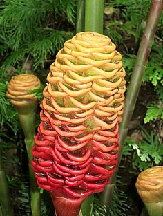 Hawaiian Ginger Flower