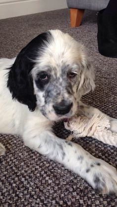 English setter blue puppy. 8 weeks old
