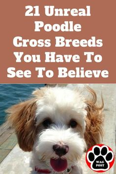 If you love Poodles as much as we do then you& sure to love these 21 gorgeous Poodle mixes. Source by The post 21 Unreal Poodle Cross Breeds You Have To See To Believe appeared first on Avery Dogs. Poodle Cross Breeds, Poodle Mix Breeds, Poodle Mix Puppies, Poodle Grooming, Dog Grooming, Cockapoo Grooming, Yorkie Poodle, Teddy Bear Puppies, Chihuahua