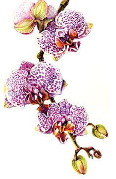 Artist Amber R. Turner   1, Orchid, Phalaenopsis Blume, Spotty Dotty, Gallery Card