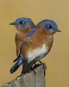 Bluebirds - Capture the moment