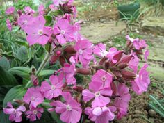 Picture of Rolly's Favorite catchfly flowers.