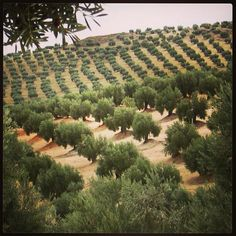 Here is a pic of Olivos de Jaén. I want My olive trees to be just like this. Olive Tree Care, Olives, Green Companies, Spanish Culture, Palmiers, Old Trees, Olive Gardens, Fruit Trees, Land Scape