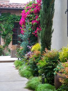 Traditional Mediterranean gardens can be spiced up a bit by adding foliage color. On this project Podocarpus 'Icee Blue', Echeveria 'Afterglow' and Euphorbia 'Sticks on Fire' provide some pop against the muted Mediterranean greens.  http://rogersgardenslandscape.com/