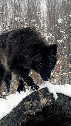 wolf snow