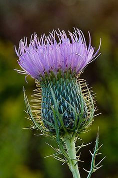 The Thistle of Scotland, alongside tartan the thistle is perhaps the most identifiable symbol of all things Scottish. The prickly-leaved, pink or purple-flowered thistle is the emblem of the Scottish nation.