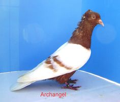 Archangel Pigeon | Posted on August 1, 2012 Pigeon Post, Pigeon Breeds, Dove Pigeon, Archangel, Birds, Amazing, Animals, Turtle Dove, Farm Animals