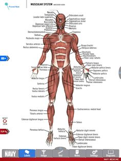 Diagram of the Muscular System from the free Anatomy Study Guide app by America's Navy. Includes high-res 3-D diagrams! | #navy #usnavy #americasnavy navy.com