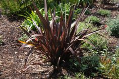 Phormium 'Amazing Red' Front Yard Landscaping Plans, Red Perennials, Drought Resistant Landscaping, Front Yard Plants, Deer Resistant Plants, Amazing Red, Landscape Plans, Yard Design, Front Entry