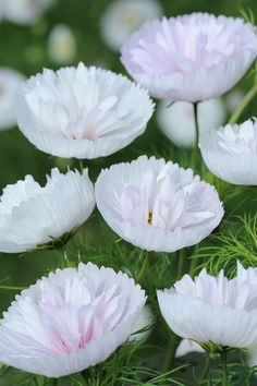 the 33 new plants that will debut at the Chelsea Flower Show this year Cosmos bipinnatus 'Cupcakes Blush' - . Cosmos Flowers, Exotic Flowers, Amazing Flowers, Flowers In Hair, White Flowers, Beautiful Flowers, Flowers Dp, Flowers Bucket, Chelsea Flower Show