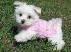 Yes my little furry friend run like the wind!) : Yes my little furry friend run like the wind! Tiny Puppies, Teacup Puppies, Cute Dogs And Puppies, I Love Dogs, Corgi Puppies, Cute Baby Animals, Animals And Pets, Maltese Dogs, Little Dogs