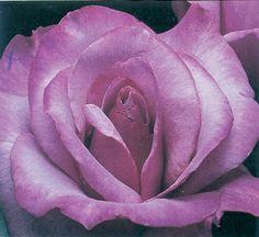 Discount Fruit Trees, Shade Trees, Berry Plants and More! Berry Plants, Lilac Roses, Shade Trees, Rose Bush, Fruit Trees, Beautiful Roses, Perennials, Berries, Garden