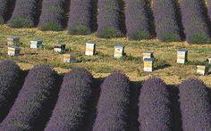Beehives in lavender