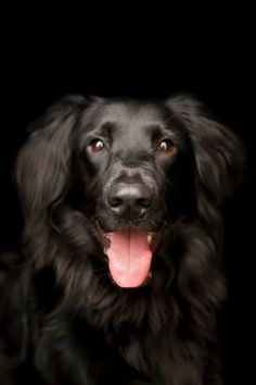 My beautiful flat coated retriever Shadow.  My heart and soul ♥ I don't know what I'd do without my pup.