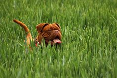 Your pets running around outside.The chances are good that they are picking up fleas in the yard , Borax could be the answer. borax fleas in yard. Pet Dogs, Dogs And Puppies, Pet Puppy, Short Haired Dogs, Groucho Marx, Dog Ages, Mastiff Dogs, Dog Accessories, Mans Best Friend
