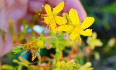 SUNĂTOAREA – planta care alină DURERILE, echilibrează EMOȚIILE, vindecă PIELEA și luptă cu INFECȚIILE virale | La Taifas