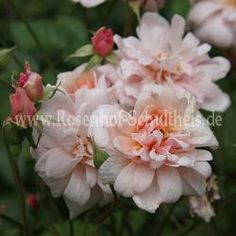 Perle d'Or N ° 3 - Albicocca-Orange - China Rose - Historische_Rosen - Roses - Rose of Schultheis
