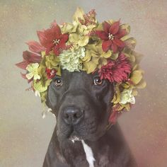 """Finn - With """"Flower Power: Pit Bulls of the Revolution"""", I decided to photograph them with flower crowns, to infuse a softer energy into their image. I wish for this series to challenge the way we look at pit bulls, and ultimately the way we treat them. All the models from the series are shelter pit bulls who were waiting for adoption at the time of the photograph. Sophie Gamand, photographer."""