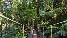 Discover O'Reilly's Tree Top Walk nestled high within World Heritage-listed National Park. Suitable for guests of all ages, this world's first suspension bridge provides the opportunity to observe life in the rainforest canopy at close range. Rainforest Pictures, Rainforest Trees, Tree Canopy, Canopy Tent, Sail Canopies, Pine Mountain, Sun Sail Shade, Canopy Design