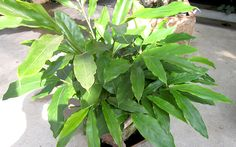 Kardamom (Pflanze)