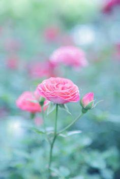 Pink rose/wild rose look