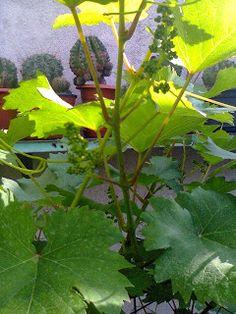 Adriana  Hobby: Fructele grădinii mele luna mai 2015 Plants, Herbs