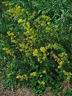 Galium verum Lady.     EDIBLE DYES ... COFFEE ... CURDING AGENT ... DRINK ...from plants!