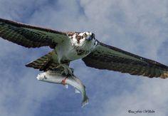 Osprey/fish hawk