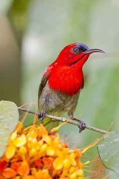 Crimson Sunbird 黄腰太陽鳥 (Aethopyga siparaja) by Chong Lip Mun #birds #bird