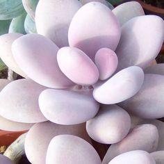 Pachyphytum oviferum - Pink Moonstone
