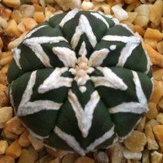 Succulents: Astrophytum asterias type-V