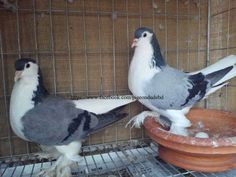 EE ringed (2013) Running Blue Bar Lahore pigeon for Sale - BD Online Pigeon Market