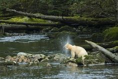 A spirit bear crosses a river in the Great Bear Rainforest in British Columbia, Canada. Description from greenpeace.org. I searched for this on bing.com/images
