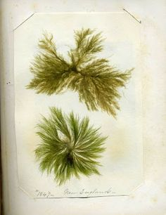 """Seaweeds, the 'Flowers of the Sea"""", were frequently collected by Victorian ladies(not an easy task given the clothing of the day), for inclusion in an herbarium or even into art/craft work . It's an interesting read."""
