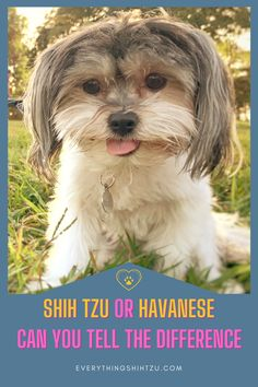 While both are good family dogs and look very similar, there are some important differences between the Shih Tzu and Havanese breed.  Here's the scoop #shihtzu #havanese #smalldog Small Mixed Breed Dogs, Cutest Small Dog Breeds, Best Small Dogs, Cute Small Dogs, Havanese Dogs, Shih Tzu Dog, Best Dogs For Families, Family Dogs, Pekinese
