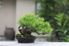 Pine mame bonsai