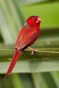 The Crimson Finch (Neochmia phaeton) found in Australia, West Papua, Indonesia & Papua New Guinea