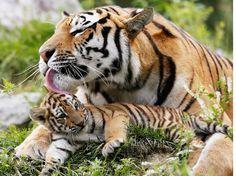 Tigresse de Siberie