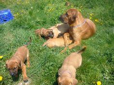 Tosa Inu, Cane Tosa Ken, Tosa Tōken, Japanese Fighting Dog, Japanese Mastiff