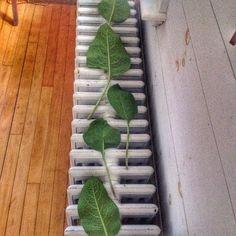 Comfrey leaves set to dry.  #myherbalstudies #herbalism #homestead #forage #wisewomantradition
