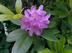 Alppiruusukin kukkii, aika vaatimattomasti tosin.