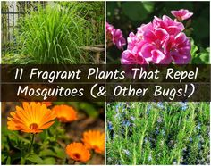 plants That Repel Mosquitos indoor - 11 Fragrant Plants That Repel Mosquitoes Plants That Repel Bugs, Cool Plants, Plants That Like Sun, Outdoor Plants, Garden Plants, House Plants, Plants Indoor, Hanging Plants, Potted Plants